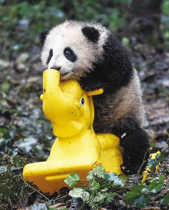 作为中国的国宝,憨态可掬的大熊猫,那一副圆滚滚的身材,浑然天成的