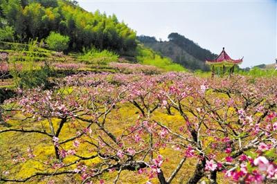 杭州千岛湖斋上村桃花