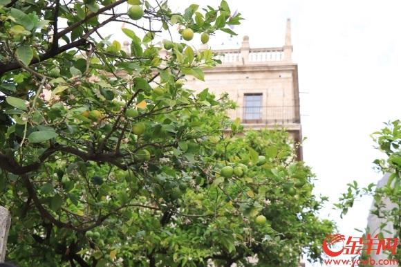 6街头的橘子树.JPG