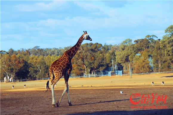 △长颈鹿就在离你这么近的地方漫步.jpg