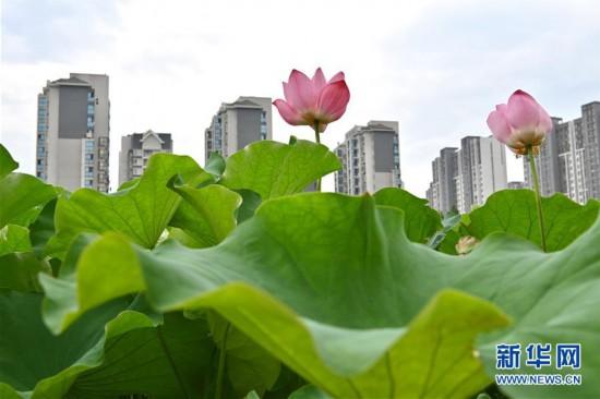 (环境)(3)福州:赏荷正当时